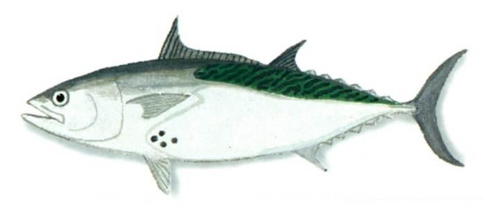 Tunny Fish