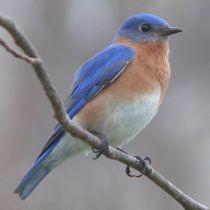 512px-Eastern_Bluebird-27527-2