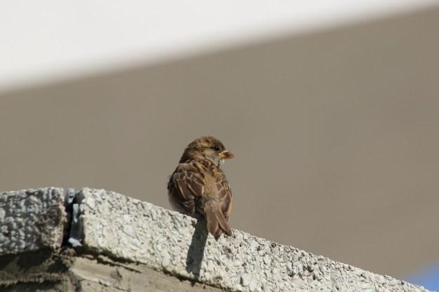 sparrow-381566_1280