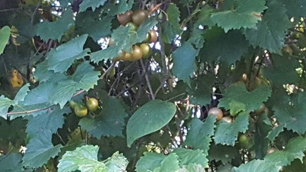 Muscadines are wild grapes; scuppernongs are the golden variety.