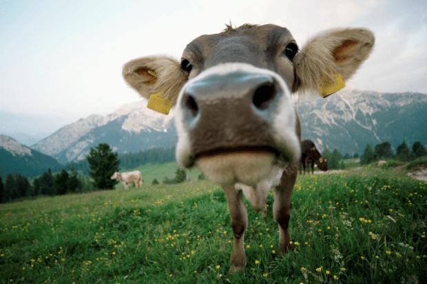 cow patty bingo