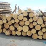 Inilah Pentingnya Pengawetan Kayu Pinus : Kayu Pinus