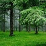Mencegah Serangan Jamur Blue Stain yang Gemar Merusak Nilai Estetika Kayu : Hutan Pinus Lagi