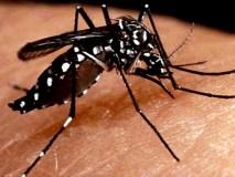 Mosquito criado em laboratório combaterá a dengue