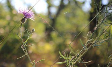 Ragweed in the sunlight