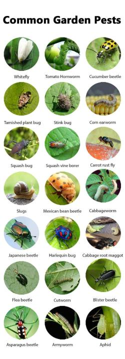 Small Of Sage Pest Control