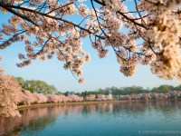 Take a Leisurely 40 Minute Drive – 2016 Cherry Blossom Peak Bloom Forecasts