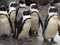 Penguins. Closer Than Ever