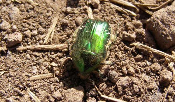 Grün leuchtender Käfer
