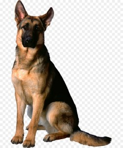 Small Of German Shepherd Mixed With Husky