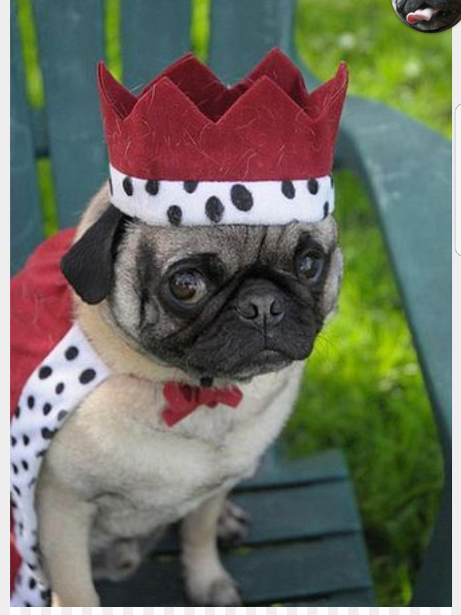Nice Costumes Puppy Pet Animal Pug Png Download Pug Pugs Seal Costume Turkey Costume Pug Costumes Puppy Pet Animal Pug Pugs houzz-03 Pug In Costume