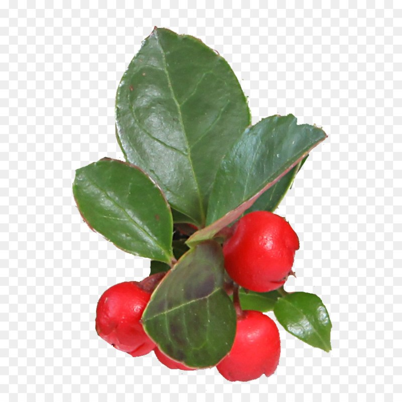 Large Of Barbados Cherry Tree