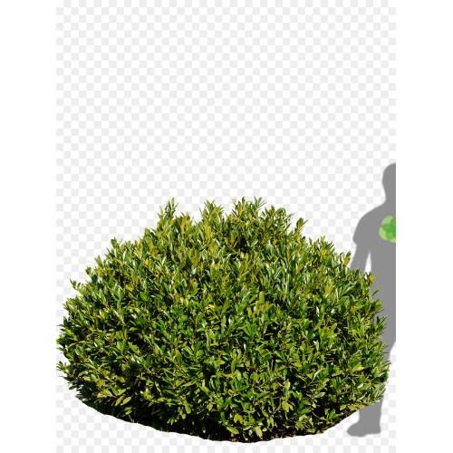 Medium Crop Of Cherry Laurel Tree