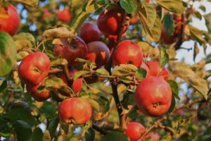 Apples in the evening sun