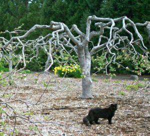 Gautschi-Pruned Apple Tree