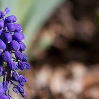 Grape Hyacinth Up Close