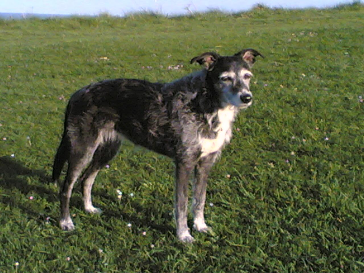 Fullsize Of Irish Dog Breeds