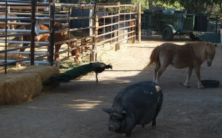 Violet the pig and friends