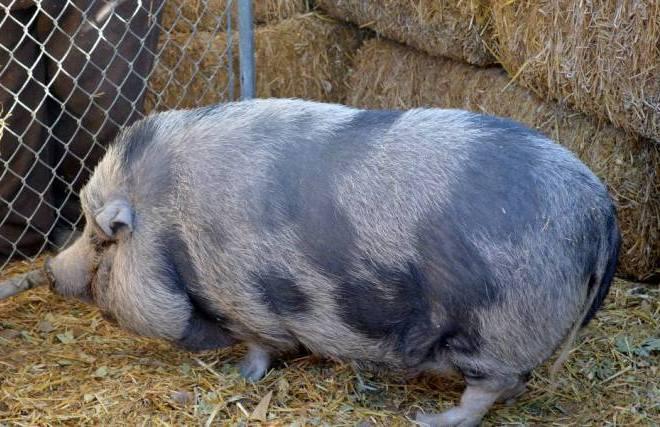 Honey the pig