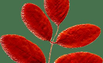 acacia_rossa