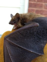 bat trapping alpharetta 3