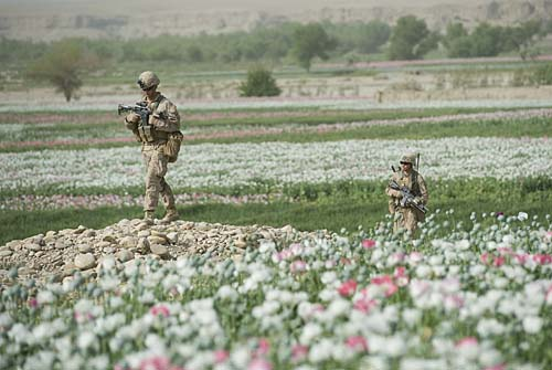 Marines patrolling poppy field in Afghanistan