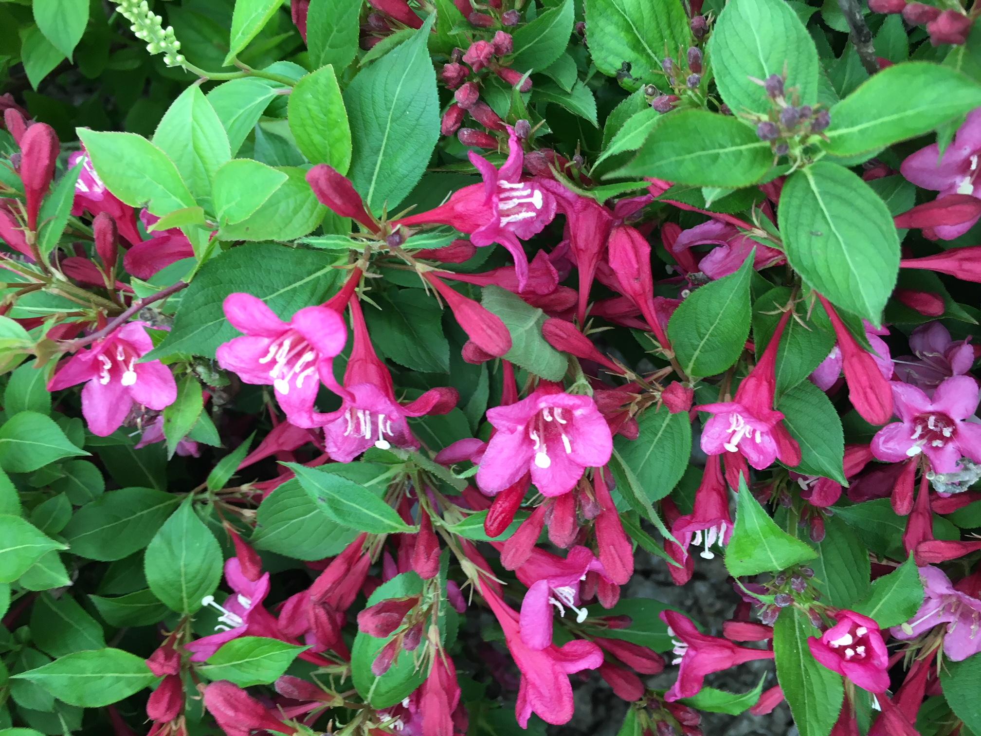 Genial Blooms Through Spring Shrubs Baxter Gardens Sonic Bloom Weigela Reviews Sonic Bloom Weigela Colors houzz-03 Sonic Bloom Weigela