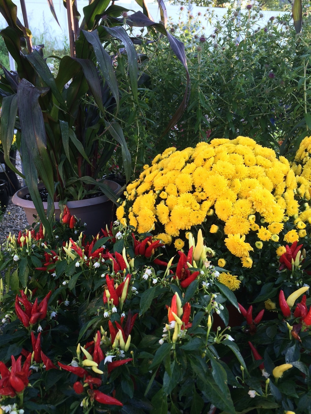 Terrific Ohio Are Mums Perennials Mums Oh Planting Fall Containers When Bored Zone 6 Mums Baxter Gardens Are Mums Perennials Ornamental houzz-03 Are Mums Perennials