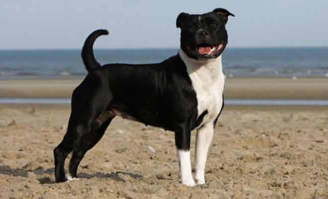 Staffordshire-Terrier