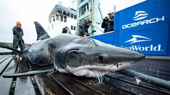 13-foot-great-white-shark