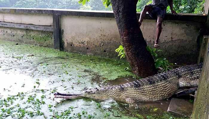 Rare-Bangladesh-crocodile