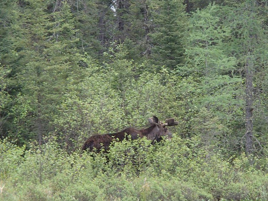 A Moose!