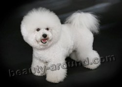 Relaxing Bichon Frise French Dog Photo Most Dogs Big Dog Breeds Fluffy Large Dog Breeds S