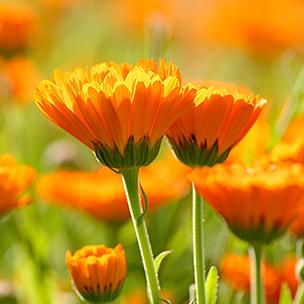 plant-calendula