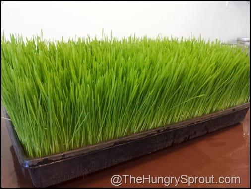Wheatgrass The Vegan Cafe