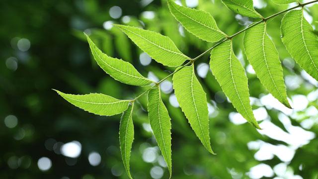 neem-leaves