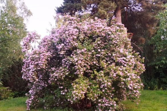 Min giganstiska paradisbuske brukar blomma i mitten av juni, lagom till ena sonens födelsedag, så visst är sommaren 2015 sen!