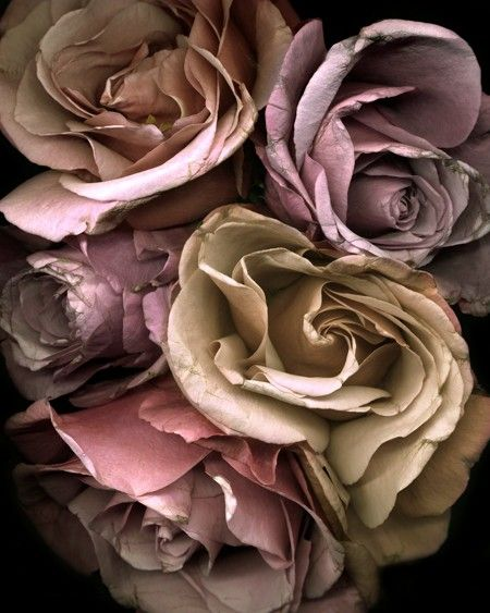 rosa-rose