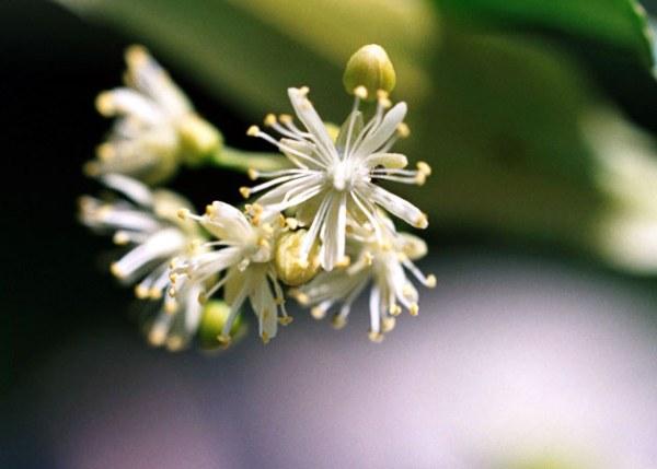 fiori-di-tiglio