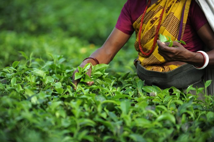 Indian tea garden workers pluck tea leaves in the Dagapur tea garden on the outskirts of Siliguri on June 1, 2011. Darjeeling tea, a black tea globally known for its flavour and high quality, is becoming popular in China, which is a predominantly green tea market. India's economic growth slowed to 7.8 percent in its fiscal final quarter as an aggressive series of interest rate hikes hit activity, according to official data. AFP PHOTO/Diptendu DUTTA (Photo credit should read DIPTENDU DUTTA/AFP/Getty Images)