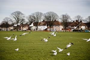 Seagulls, Parsloes Park. Photo by AF Rodrigues