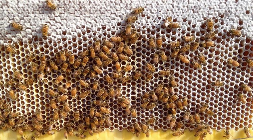 الأحماض بالعسل منشأها و أهميتها في التغذية و العلاج و ما دورها في العسل