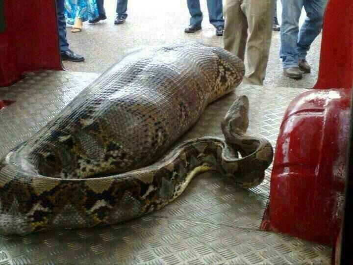 Snake Human