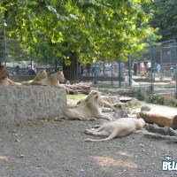 "The ""white kings"" - Superstars of the Belgrade zoo"