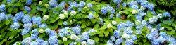 Small Of Nikko Blue Hydrangea