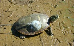 A turtle with a radiotransmitter attached.