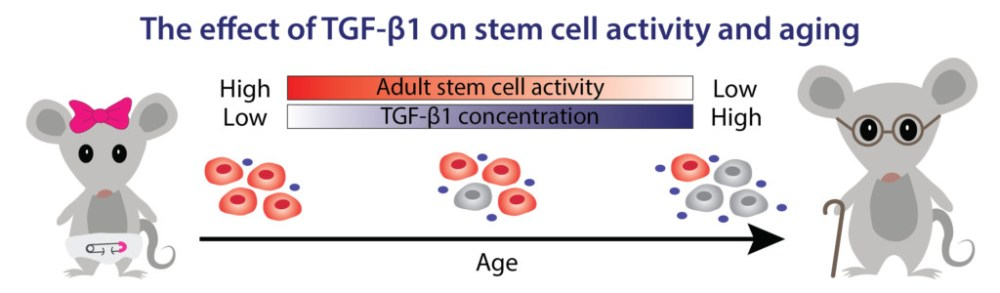 Transforming growth factor beta 1 (TGF-fl1) is necessary for preventing excessive cell proliferation that could otherwise lead to cancer and inflammation. As animals age, the concentration of TGF-fl1 increases, causing stem cells to deactivate and preventing them from adequately responding to tissue and organ injuries. Scientists are investigating how a new drug may lower levels of TGF-fl1 in older animals, allowing stem cells to reactivate and regenerate unhealthy tissues.