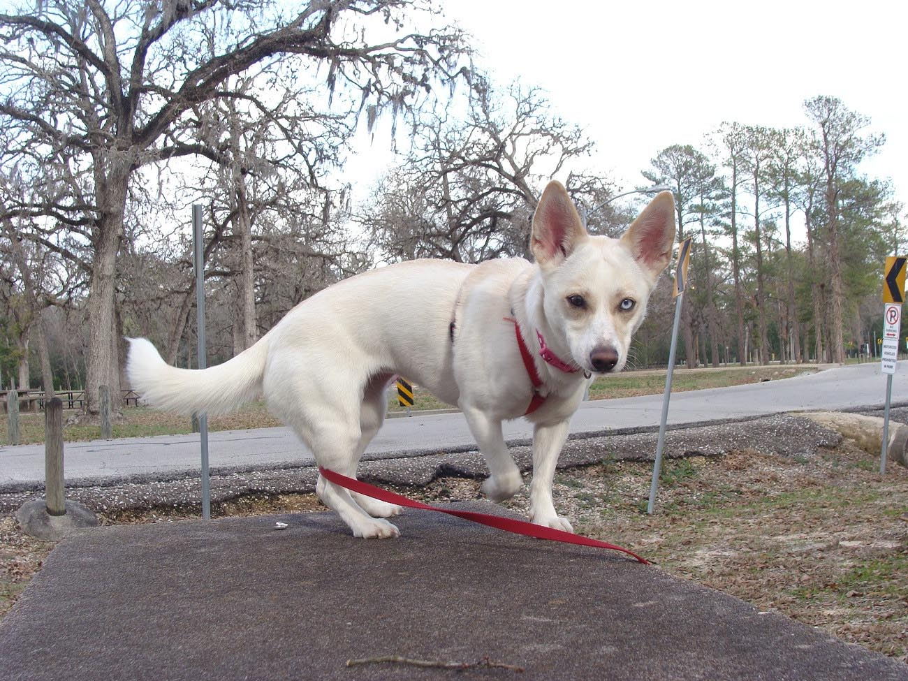Fullsize Of Chihuahua Husky Mix