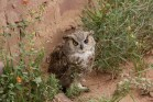 Great horned owl at Navajo Nation Zoo, with injured eye and wing, facing forward, next to orange globe mallow and other desert plants