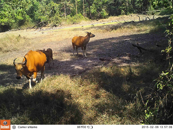 Banteng at Waterhole